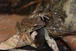 Rain frog [costa-rica-d_0475]