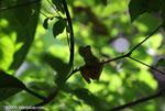Profile of the Gladiator Frog (Hyla rosenbergi)