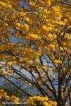 Corteza Amarilla (Tabebuia ochracea)