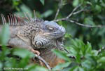Adult green iguana [costa-rica_0001]