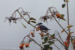Ringed Kingfisher (Megaceryle torquata) [costa-rica_0034]