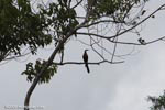Anhinga or snake bird (Anhinga anhinga)