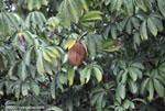 Cannon ball tree (Couroupita guianensis)