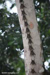 Long-nosed Bats (Rhynchonycteris naso) mimicking a vine on a tree trunk