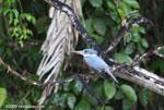 Ringed Kingfisher (Megaceryle torquata) [costa-rica_0108]