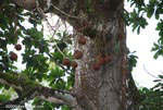 Cannon ball tree (Couroupita guianensis) [costa-rica_0113]