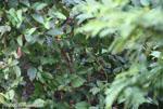 Black-headed trogon hidden among leaves