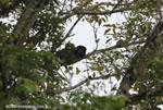 Mantled Howler Monkey (Alouatta palliata) [costa-rica_0152]