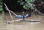 Anhinga or snake bird (Anhinga anhinga) drying its wings after a dive