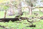 Bare-throated Tiger Heron (Tigrisoma mexicanum) [costa-rica_0234]