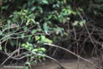 Mangrove swallow (Tachycineta albilinea) [costa-rica_0241]