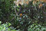 Black-headed trogon (Trogon melanocephalus) [costa-rica_0274]