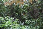 Black-headed trogon (Trogon melanocephalus) [costa-rica_0275]
