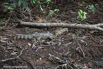 Common Caiman (Caiman crocodilus) [costa-rica_0277]