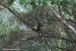 Spider monkey (Ateles geoffroyi ornatus) feeding on a tamarind [costa-rica_0282]