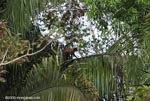 Spider monkey (Ateles geoffroyi ornatus) [costa-rica_0291]
