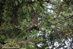 Pale-throated Three-toed Sloth (Bradypus tridactylus) [costa-rica_0320]
