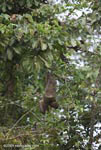Pale-throated Three-toed Sloth (Bradypus tridactylus) [costa-rica_0325]