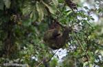 Pale-throated Three-toed Sloth (Bradypus tridactylus) [costa-rica_0329]