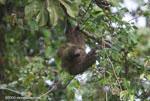 Costa Rican Three-toed Sloth (Bradypus tridactylus)