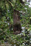 Three-toed Sloth (Bradypus tridactylus)