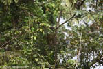 Find the Three-toed Sloth (hint: male sloths have a stripe on their back)