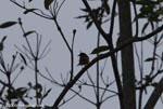 Red-breasted Blackbird (Sturnella militaris)