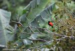 Passerini's Tanager (Ramphocelus passerinii) [costa-rica_0366]
