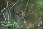Rufous-tailed Hummingbird (Amazilia tzacatl) in flight