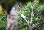White Hawk (Leucopternis albicollis)