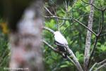 White Hawk (Leucopternis albicollis) [costa-rica_0403]