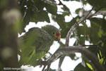 Red-lored Amazon (Amazona autumnalis) [costa-rica_0422]