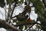 Three-toed Sloth (Bradypus tridactylus) [costa-rica_0563]