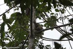 Three-toed Sloth (Bradypus tridactylus) on the trunk of a cecropia tree