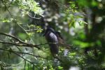 Boatbill Heron (Cochlearius cochlearius)