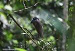 Boatbill Heron (Cochlearius cochlearius) [costa-rica_0582]