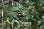 Yellow-throated Euphonia (Euphonia hirundinacea)