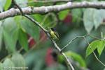 Common Tody-Flycatcher (Todirostrum cinereum) [costa-rica_0646]