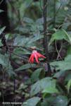 Red passion vine flower [costa-rica_0732]