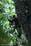 Pregnant spider monkey [costa-rica_0758]