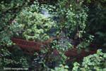 Kinkajou in the rainforest canopy [costa-rica_0794]
