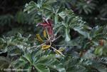 Cecropia flower pods