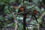 Pair of Rufous Motmot (Baryphthengus martii) following a column of army ants
