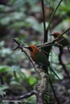 Pair of Rufous Motmot following a column of army ants in order to catch insects stirred up by the activity