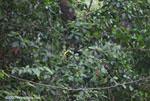 Chestnut-mandibled Toucan (Ramphastos swainsonii) [costa-rica_1012]