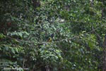 Chestnut-mandibled Toucan (Ramphastos swainsonii) [costa-rica_1015]