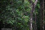 Chestnut-mandibled Toucan (Ramphastos swainsonii) [costa-rica_1022]