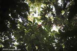 Central American Squirrel Monkey (Saimiri oerstedii) [costa-rica_1033]