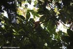 Central American Squirrel Monkey (Saimiri oerstedii)