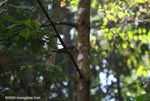 Double-toothed Kite (Harpagus bidentatus), a bird of prey that follows squirrel monkeys